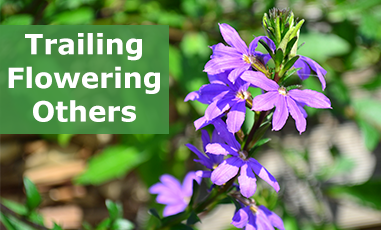 Buy Flowering Trailing Plug Plants