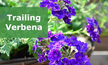 Buy Trailing Verbena Plug Plants