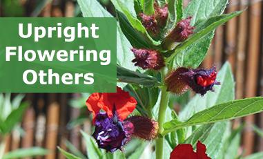 Buy Flowering Upright Plugs Online