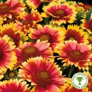 Gaillardia Arizona Sun Plug Plant