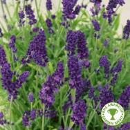 Lavender Hidcote Plug Plant