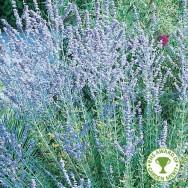 Perovskia Blue Spire Plug Plant
