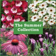The Summer Perennial Collection (6 plug plants)