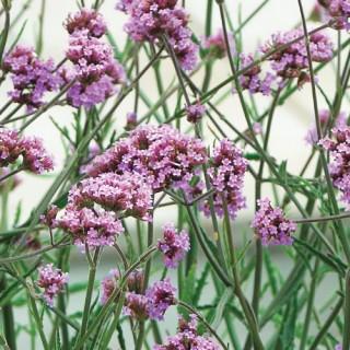 Verbena Bonariensis Lollipop Plug Plant
