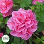 Petunia Tumbelina® Clara Plug Plant