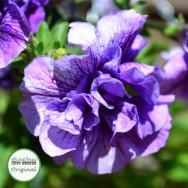 Petunia Tumbelina® Priscilla (scented) Plug Plant