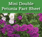 Click here to view the Mini Double Petunia fact sheet