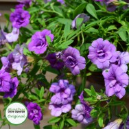 Calibrachoa Calita® Double Blue Plug Plant