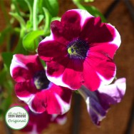 Petunia trailing Candy Wheels Plug Plant