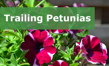 Buy Trailing Petunias Online