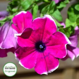 Surfinia® Giant Purple Picotee Plug Plant