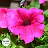 Surfinia® Hot Pink Plug Plant