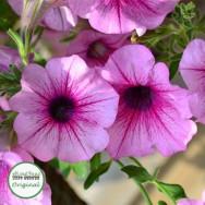 Surfinia® Rose Vein Plug Plant
