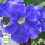 Surfinia® Sky Blue Plug Plant