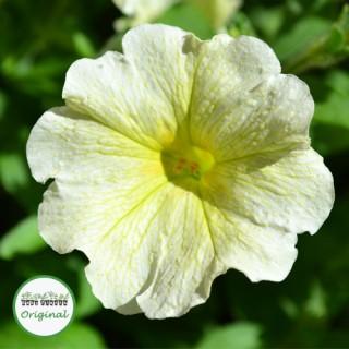 Surfinia® Yellow Plug Plant