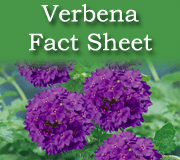 Click here to view the trailing Verbena fact sheet