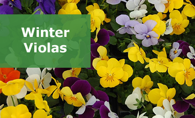 Winter Violas