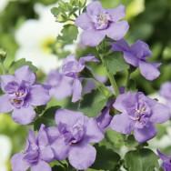 Bacopa Baristo® Double Blue Plug Plant