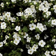 Bacopa Baristo® White Plug Plant