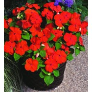 Impatiens Xtreme™ F1 Orange mini-plug bedding plants