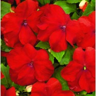 Impatiens Xtreme™ F1 Red mini plug bedding plants
