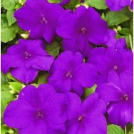 Impatiens Xtreme™ F1 Violet mini-plug bedding plants