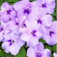 Impatiens Xtreme™ F1 Lavender mini-plug bedding plants