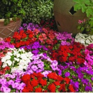 Impatiens Xtreme™ F1 Mixed mini-plug bedding plants