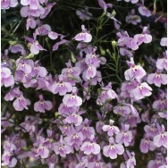 Lobelia Fountain Lilac mini-plug bedding plants
