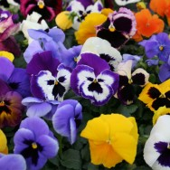 Summer Pansy Mixed mini-plug bedding plants