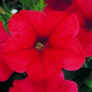 Petunia Multiflora Merlin F1 Red mini-plug bedding plants
