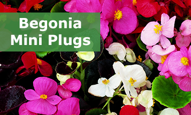 Buy Begonia Mini Plug Plants