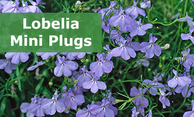Buy Lobelia Mini Plugs Online