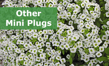 Buy Other Mini Plug Plants