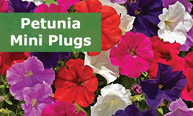 Buy Petunia Mini Plugs