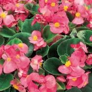 Begonia Semperflorens Ambassador F1 Pink mini-plug bedding plants