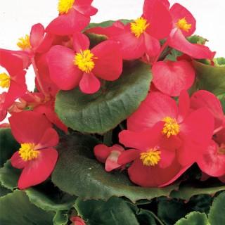 Begonia Semperflorens Ambassador F1 Rose mini-plug bedding plants
