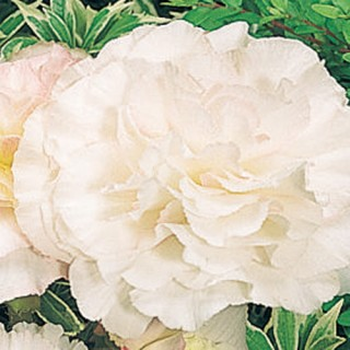 Begonia Nonstop® Appleblossom Plug Plant