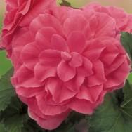 Begonia Nonstop® Pink Plug Plant