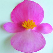 Begonia Semperflorens Senator F1 Pink mini-plug bedding plants