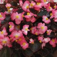 Begonia Semperflorens Senator F1 Rose Bicolour mini-plug bedding plants