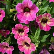 Calibrachoa Calita® Special Pink Vanilla Plug Plant