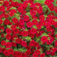 Million Bells® Bouquet Red Plug Plant