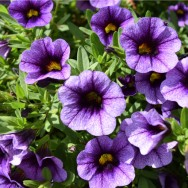 Calibrachoa Calita® Blue Eye Plug Plant