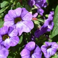 Calibrachoa Calita® Special Sky Blue Plug Plant