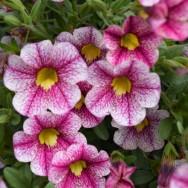 Calibrachoa Calita® White Rose Vein Plug Plant