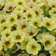 Million Bells® Bouquet Yellow Eye Plug Plant