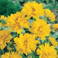 Coreopsis Early Sunrise Plug Plant