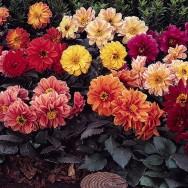 Dahlia Diablo™ Mixed mini-plug bedding plants