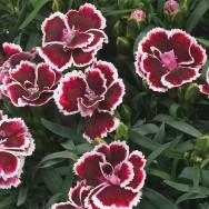 Dianthus Sunflor® Margarita® Plug Plant